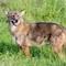 P9080987 Coyote
