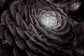 Widow Succulent