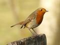 December Robin
