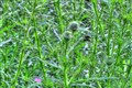 Thistly Thistles