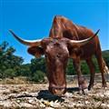 Vaca 0214