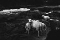Sheeps on the river