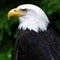6861_eagle_portrait