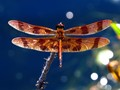halloween pennant dragonfly sunbathing