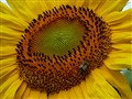 Sunflower with visitor  P1060791