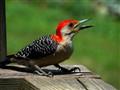 Woodpecker, DSC05618