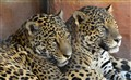 Snuggling Leopards