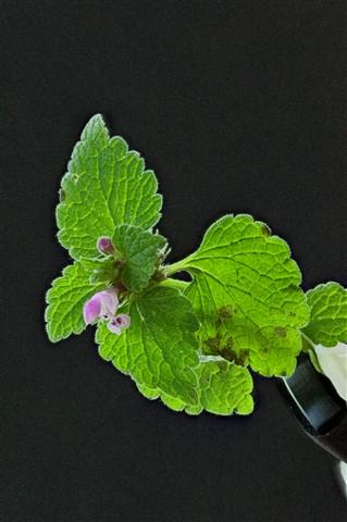 Lamium purpureum 5000 ISO