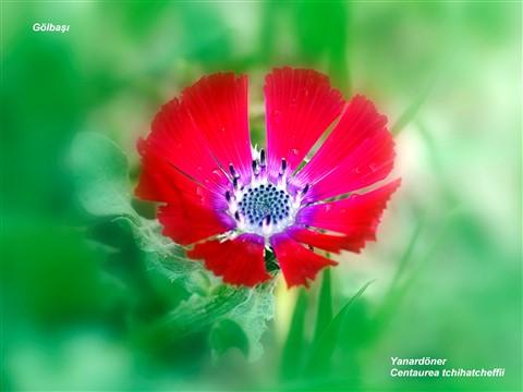 The Rare Endemics of Turkey: Centaurea tchihatcheffii
