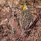 Meadowlark at Cheyenne Bottoms   003   02 07 17