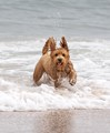 Teddi's first time in the ocean. She's running away from the waves!