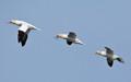 Or apparently so; 3 Gannets (Morus bassanus) in close formation flight at Bempton Cliffs.