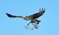 Female Osprey, refurbishing the nest.
