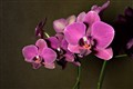 The Brazilian Orchid