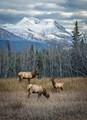 Elk family in British Columbia