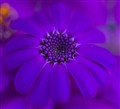Blue purple _MG_4361
