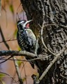 A Downy Woodpecker looking for breakfast on a warm spring morning.