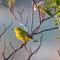 American yellow warbler (Setophaga petechia)