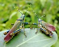 Painted Grasshoppers