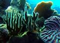 Curacao Coral