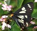 Gnophaela latipennis is its formal name. Feeding on flowers by Silver Lake, El Dorado County, CA.