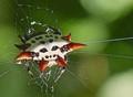 Spinyback Orbweaver Spider