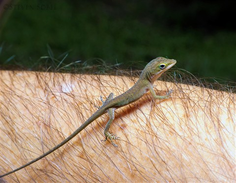 Green Anole on Arm