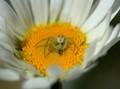 Baby Spider (Crab Spider)