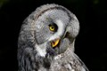 great-grey_owl