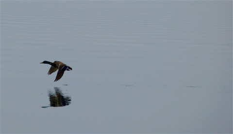 Mallard in Flight 2