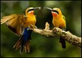 White fronted bee eaters out to lunch