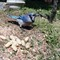 BlueJay and Peanuts2