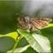 Butterflies_P7022650