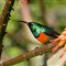 Greater-double-collared-sunbird