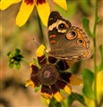 Common Buckeye on Coneflower