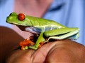Green Tree Frog  001