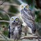 Young Horned Owls-23