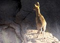This Klipspringer (translated as a 'stone-jumper) climbs down the steep river canyon to the Orange River, below.