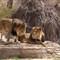 Lions - Denver Zoo
