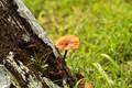 Brown Fungus,with other siblings,emerged,in fresh monsoon rain,Salt lake,Kolkata,India.