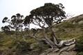 Juniperus squamata Lamb. var. morrisonicola (Hayata) Li & Keng