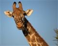 Thoughtful Giraffe