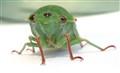Greengrocer cicader