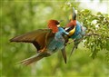 Bee Eaters fight