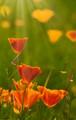 Calif Poppies