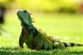 Iguana named Pola