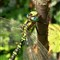 dragonfly_close2