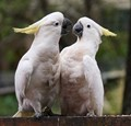 Cockatoo altercation