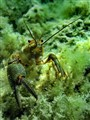 Ohridan Crab