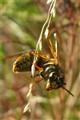 European Wasp, or Yellow Jacket